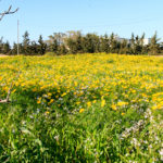 photo-malte-gozo-voyage-mars-fleurs-jaunes