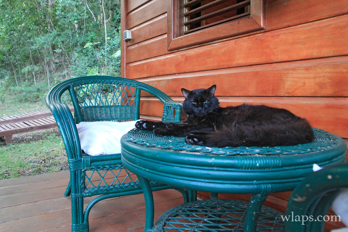 chat-noir-guadeloupe