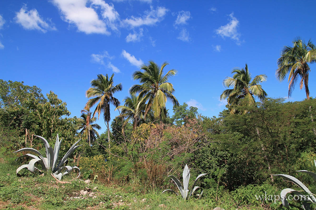 cocotiers-palmiers-deshaies-guadeloupe