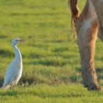 heron-garde-boeuf-guadeloupe