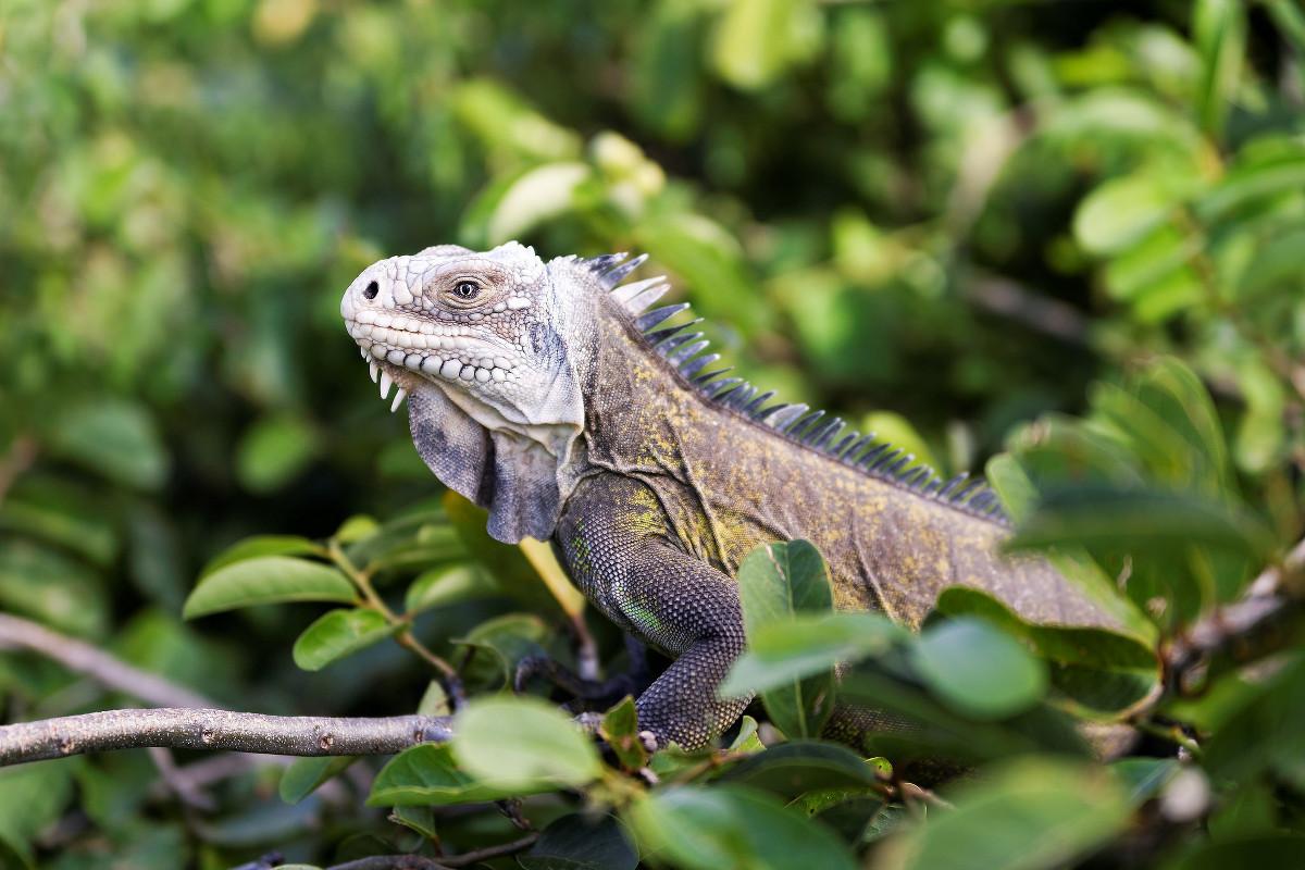 iguane-guadeloupe