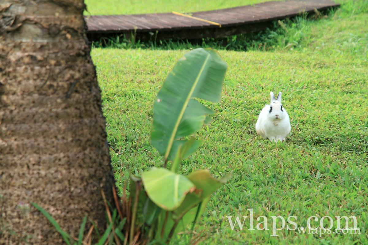 Lapin sauvage en Guadeloupe