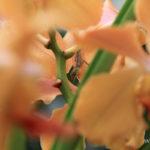 lezard-marron-guadeloupe