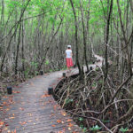 mangrove-port-louis