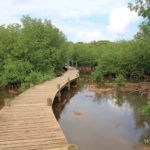 mangrove-vegetation-guadeloupe