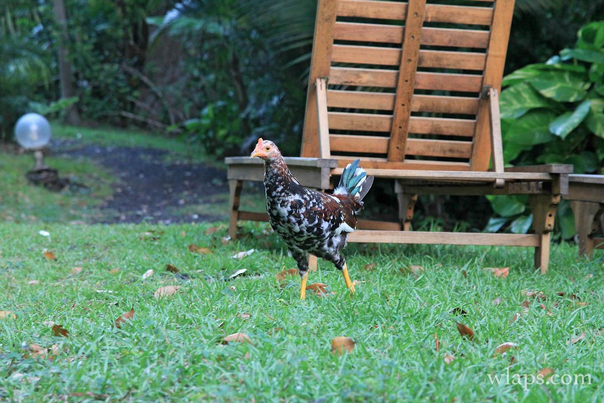 poule-sauvage-guadeloupe