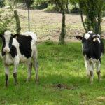vache-guadeloupe