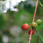 1-avis-domaine-vanibel-plantation-cafe-vanille-guadeloupe