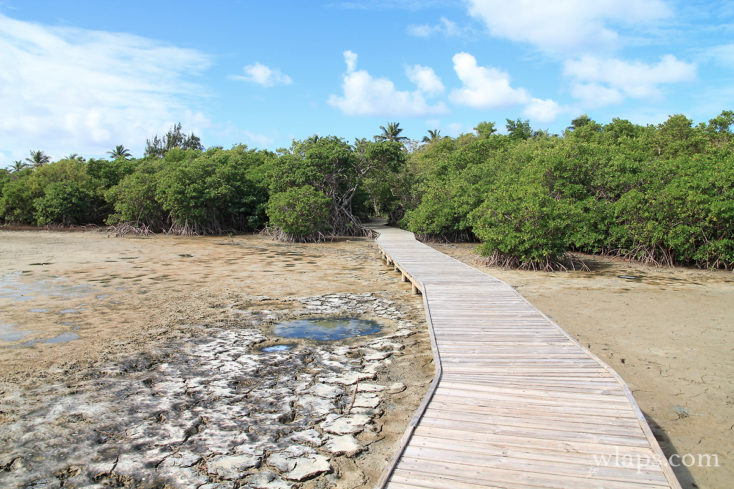 La mangrove en Martinique