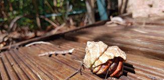 bernard-ermite-terrestre