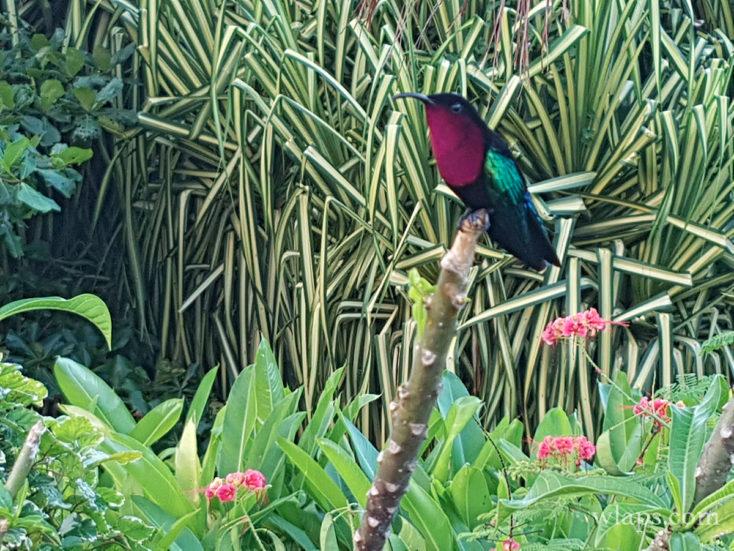 Un oiseau-mouche ou colibri en Martinique