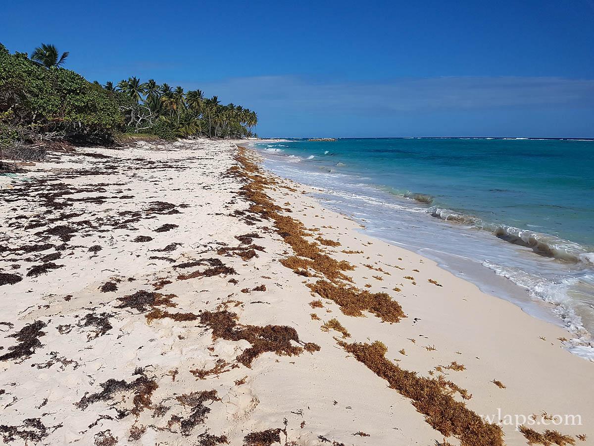 Des sargasses à la plage de la feuillere à marie-galante