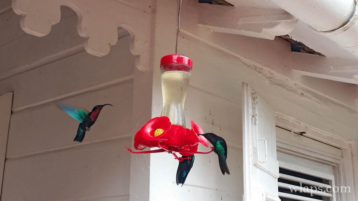 mangeoire-colibris-martinique