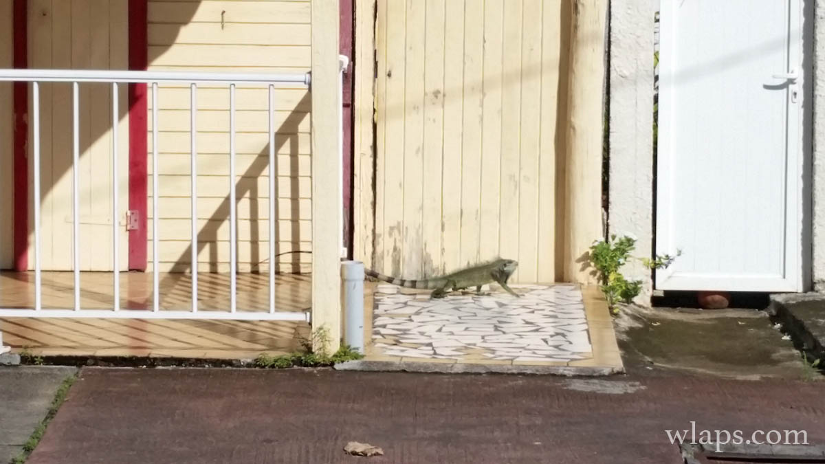 iguane-en-ville-martinique