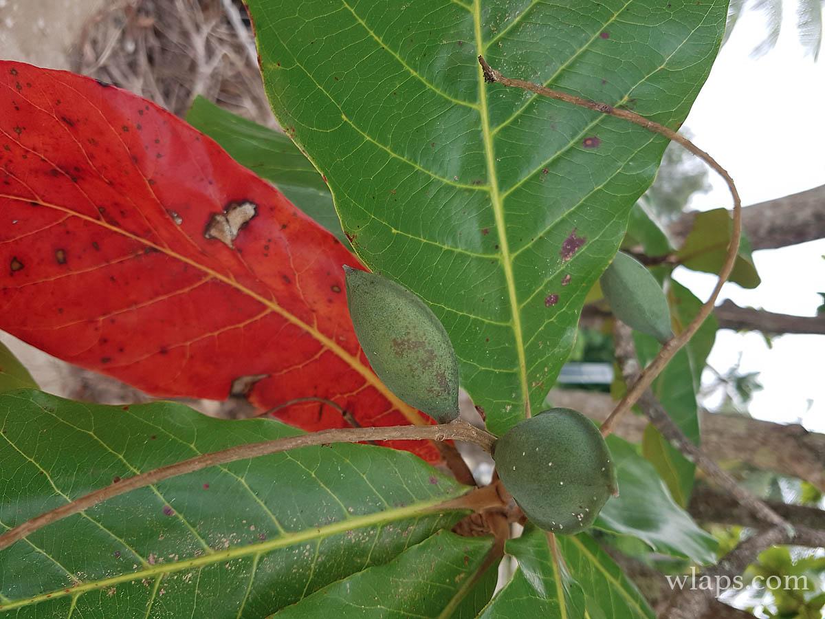 arbre-amandier-marie-galante
