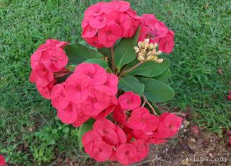 fleur-epines-du-christ-marie-galante