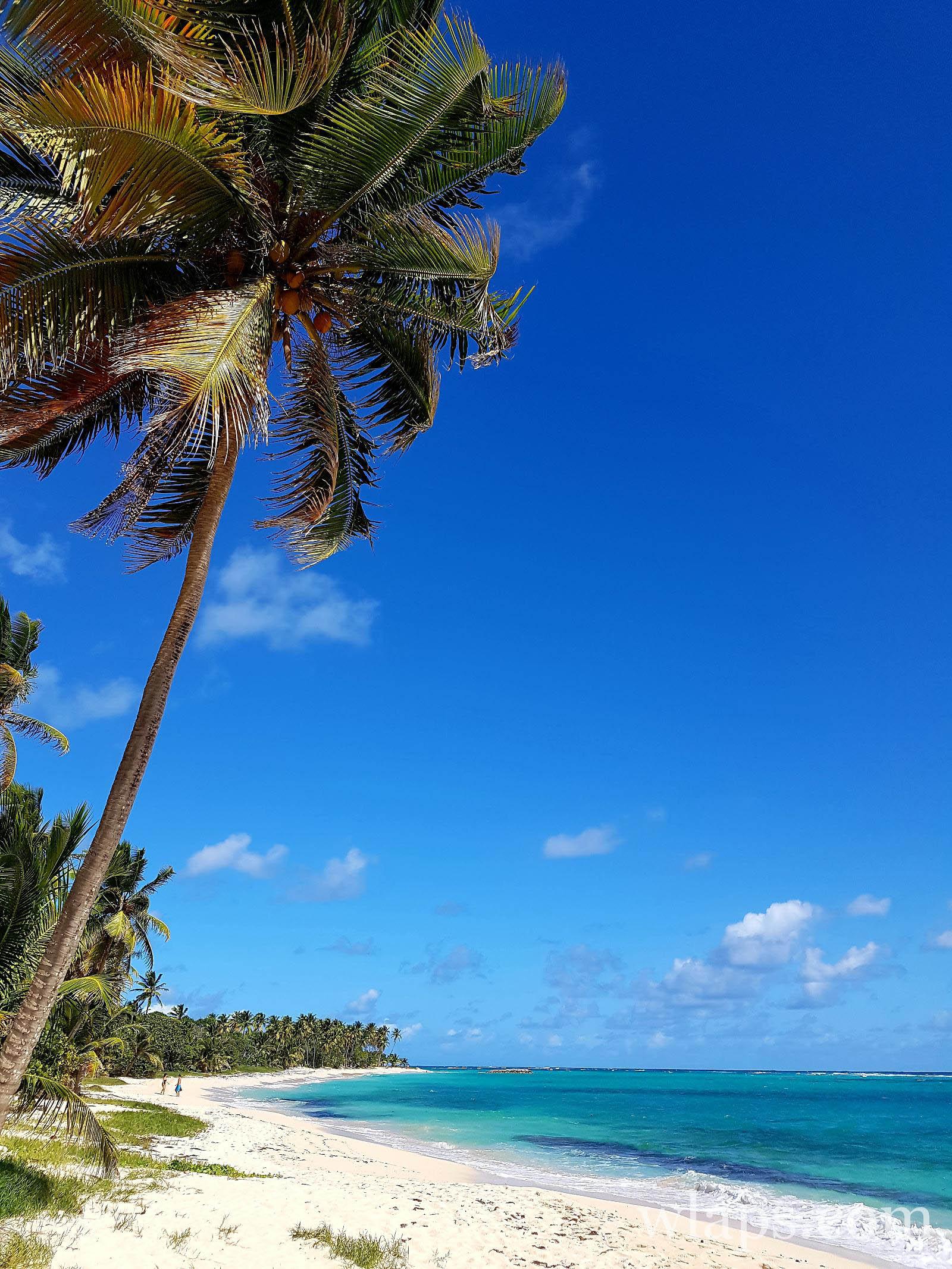 cocotier sur la plage de la feuillere à marie galante