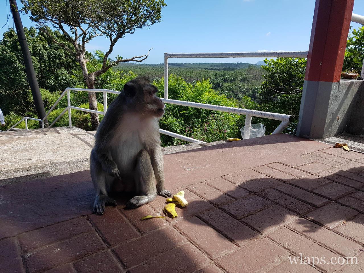 Macaque en train de manger un fruit exotique