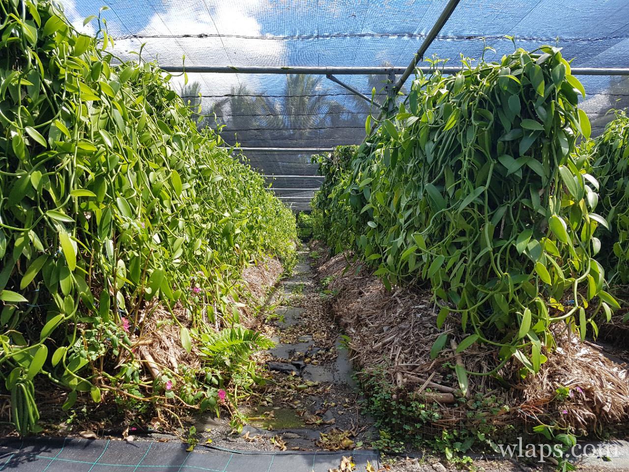 Visite d'une vanilleraie à La Réunion