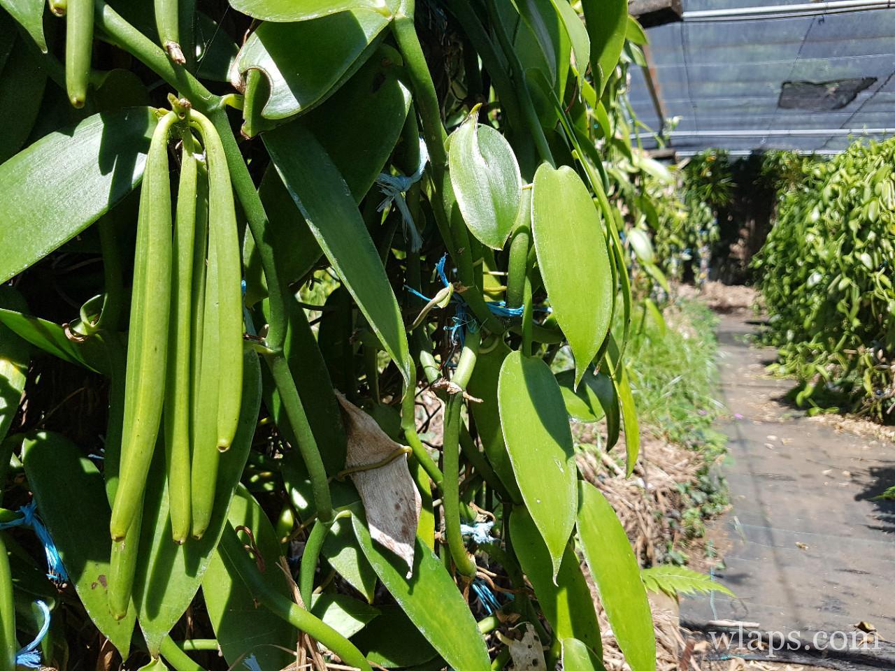 vanille bourbon de l'ile de La Réunion