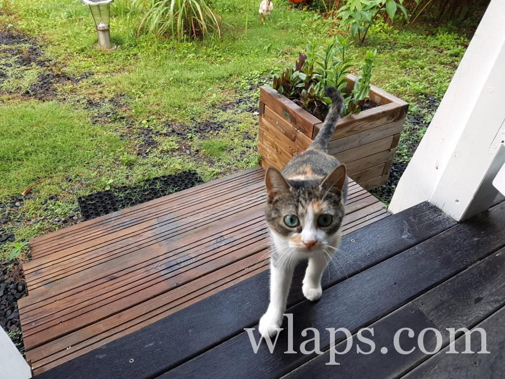un animal pas dangereux, un chat, à Marie Galante par temps de pluie
