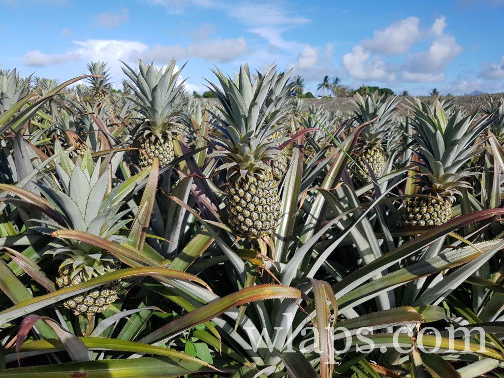 champs d'ananas ile Maurice : mon fruit exotique favori à l'ile Maurice !