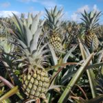 champs-ananas-victoria-maurice