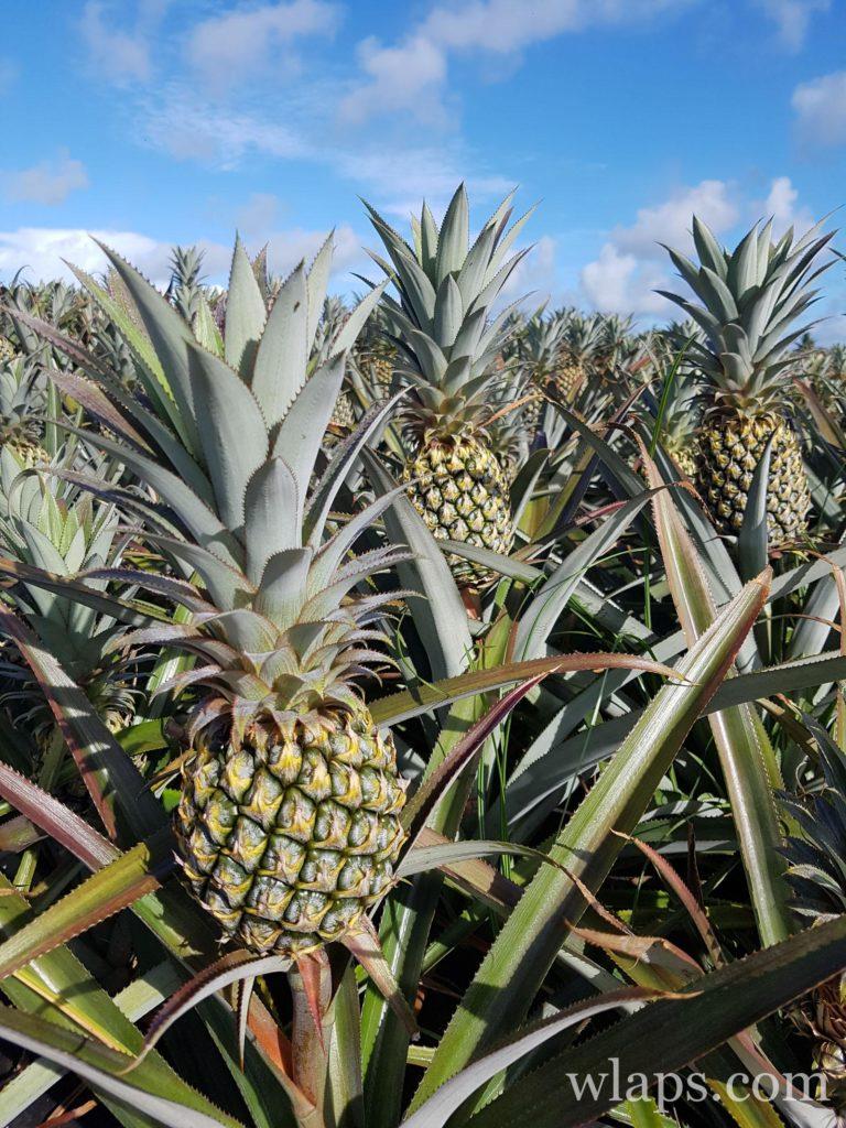 champs d'ananas à maurice : le meilleur des fruits exotiques