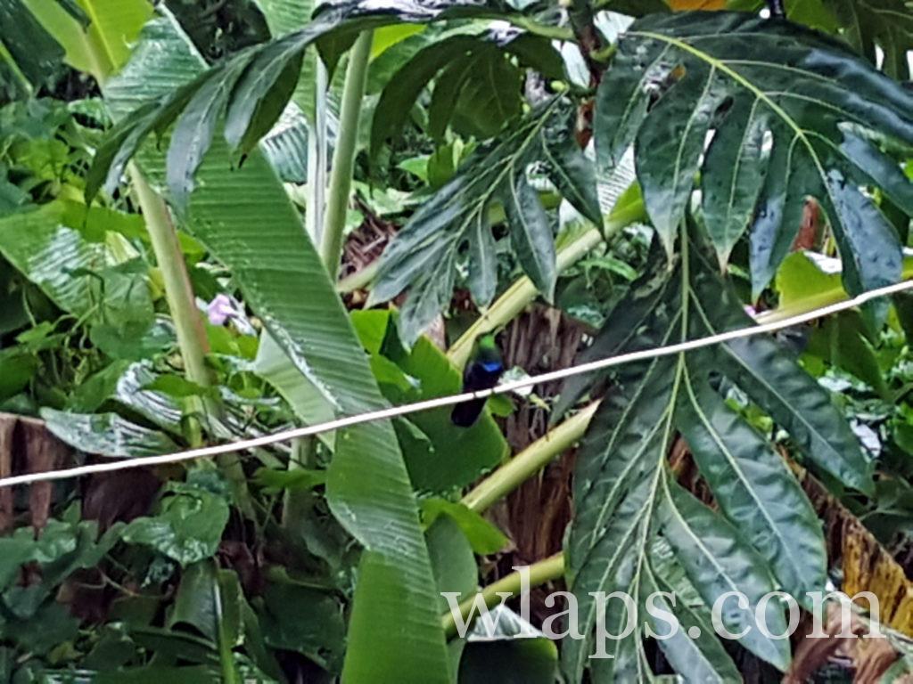 colibri sur un fil à linge après la pluie à marie galante