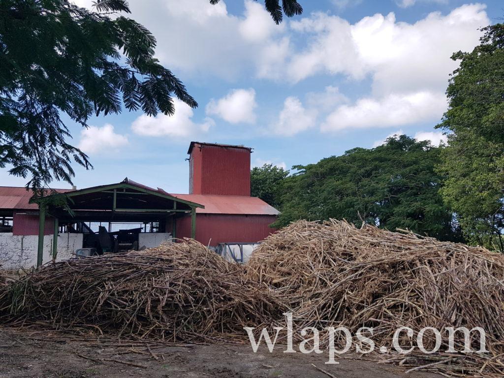 Canne à sucre fraichement coupée à Marie-Galante