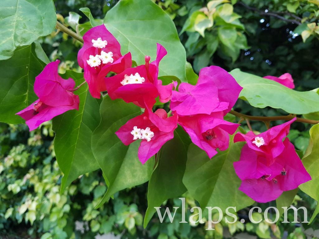 Des fleurs de bougainvilliers  à la réunion