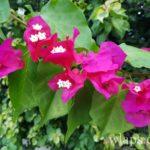 bougainvillier-fleur-de-la-reunion