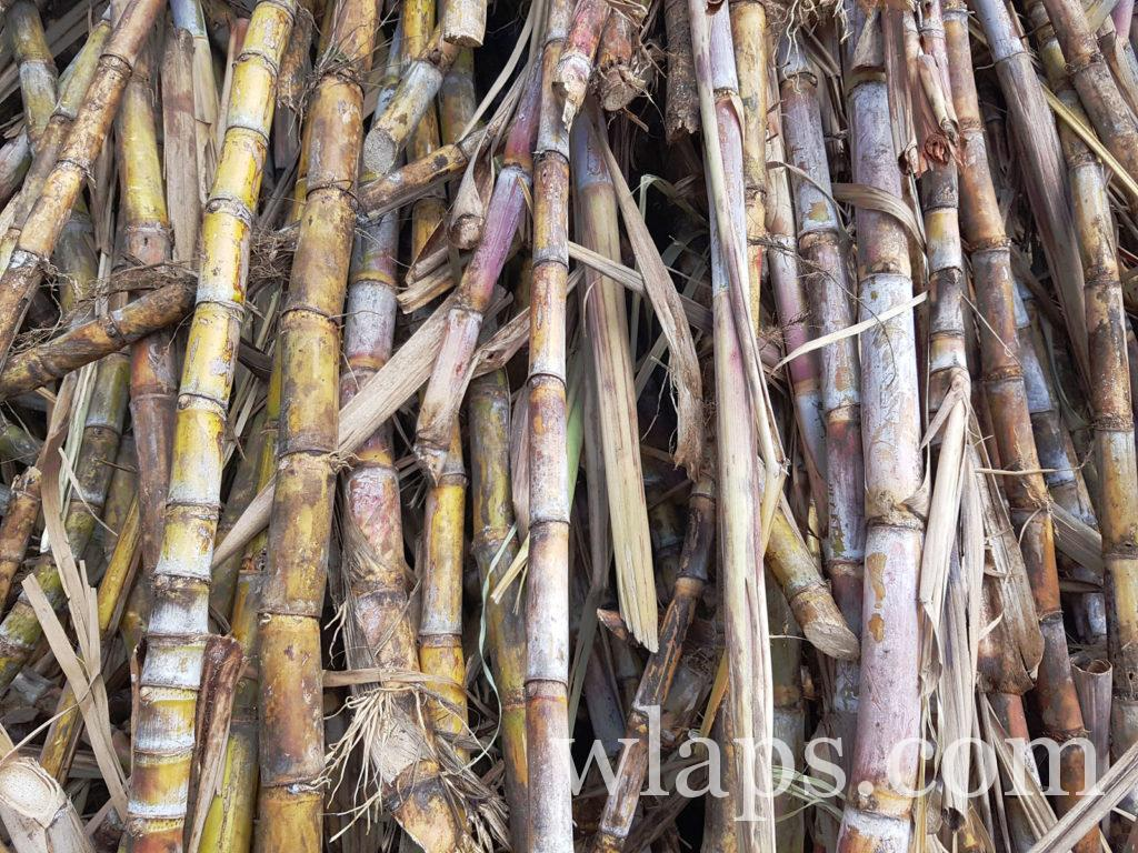 canne à sucre coupée sous la pluie