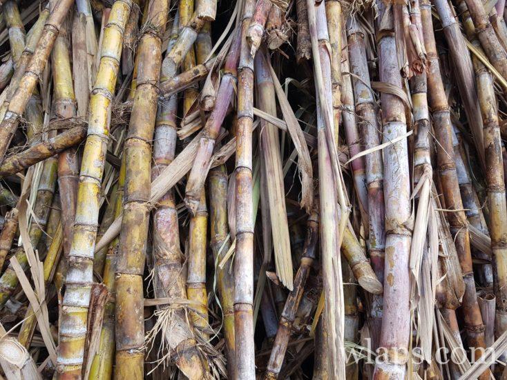 de la canne à sucre devant les distilleries de Marie Galante