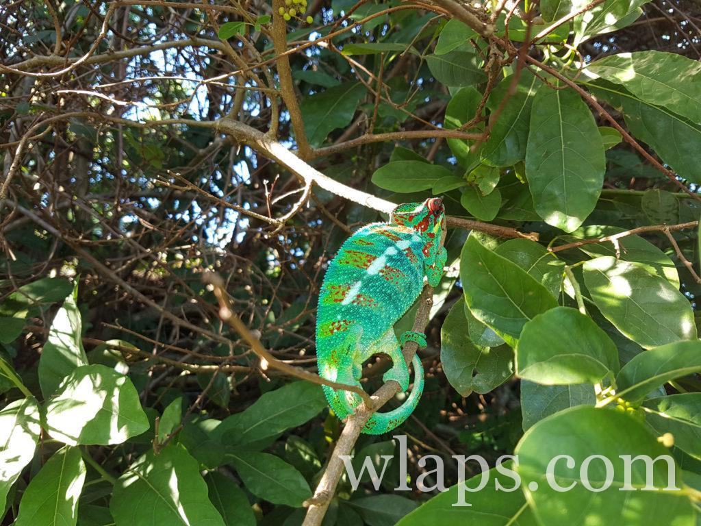 Un caméléon ou endormi qui loge à coté de notre maison de location à La Réunion