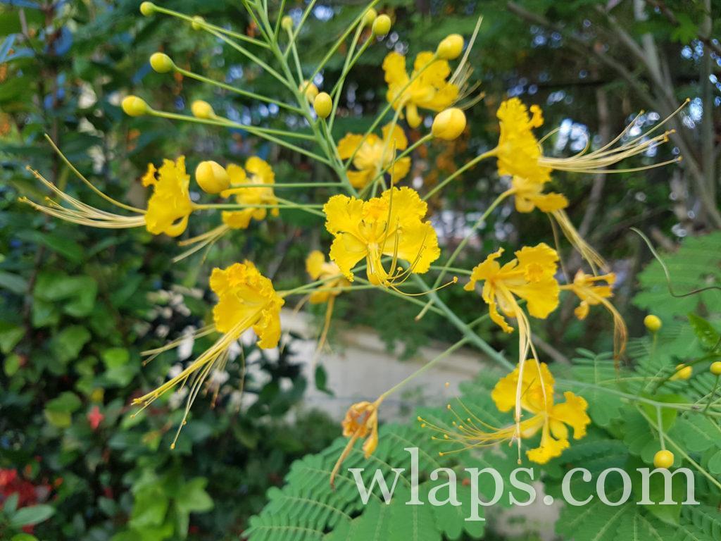 Un flamboyant jaune en bas de notre maison de location à La Réunion