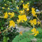 flamboyant-jaune-fleur-ile-de-la-reunion