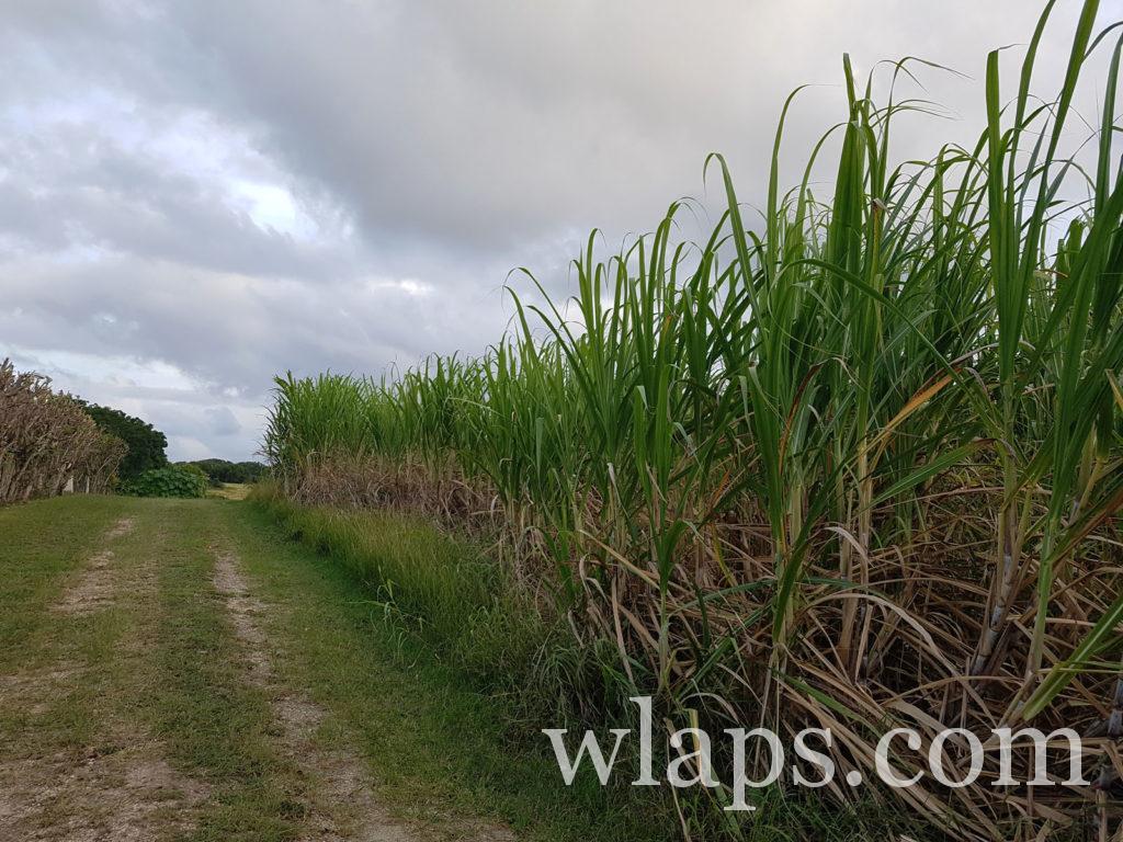 visite d'un champs de canne à sucre à la réunion sous la pluie