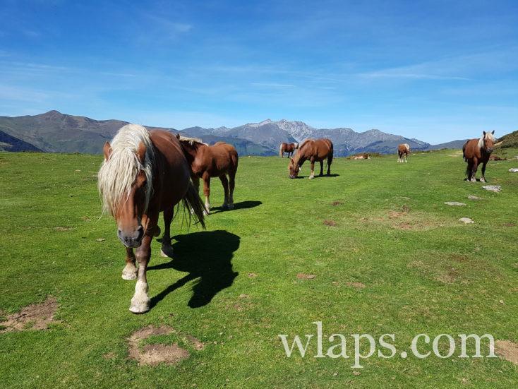 chevaux au col du soulor