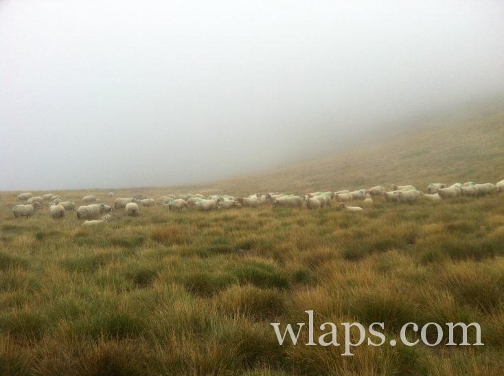 moutons près du Pic de Viscos