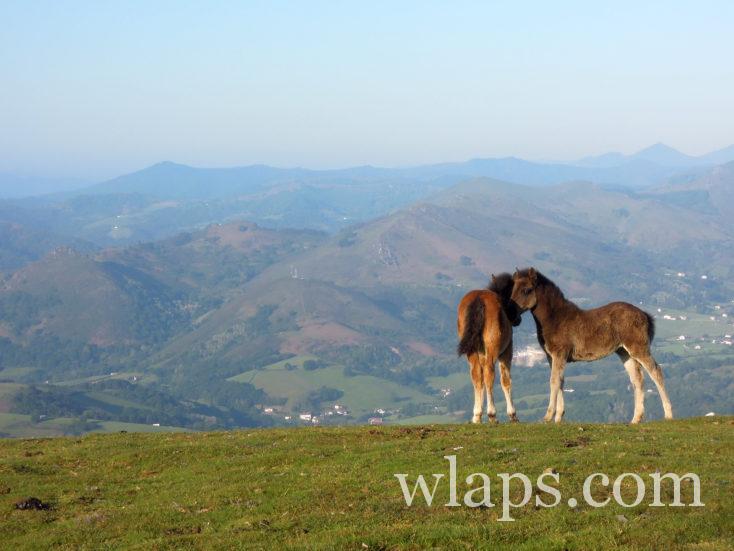 Des chevaux basques