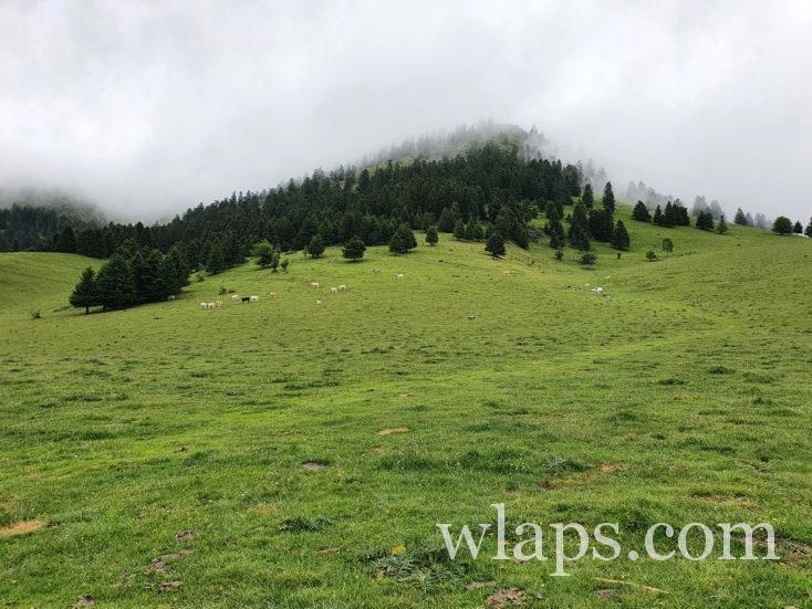 vaches en estive au Col de Beyrède
