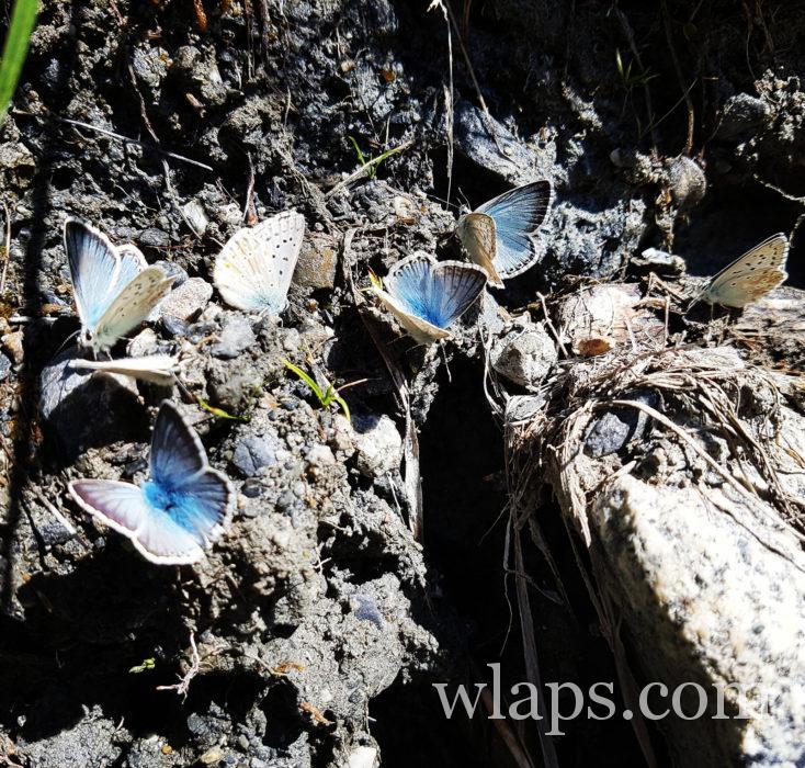 papillons aux granges