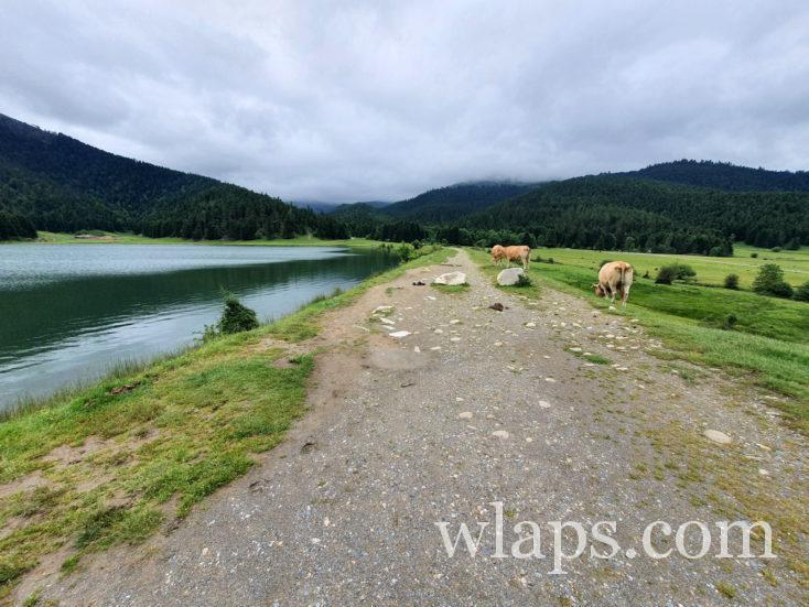 vaches au bord du lac de Payolle