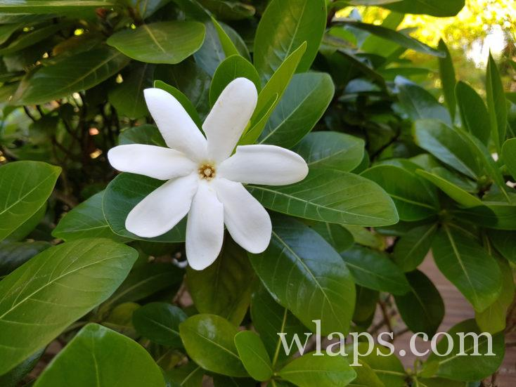fleur de Guadeloupe en décembre
