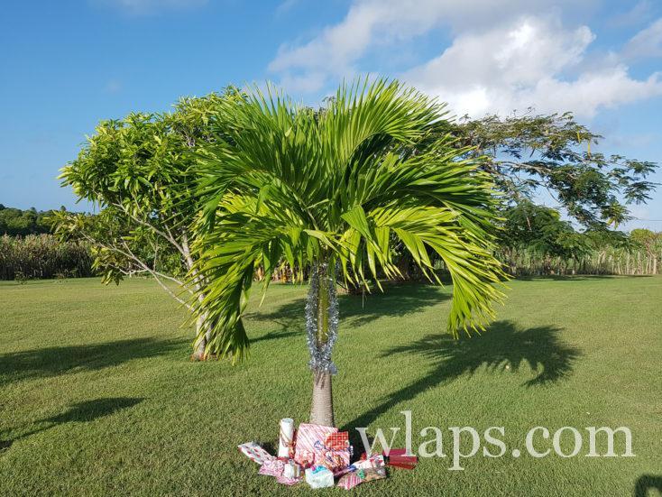 Palmier de Noël en Guadeloupe