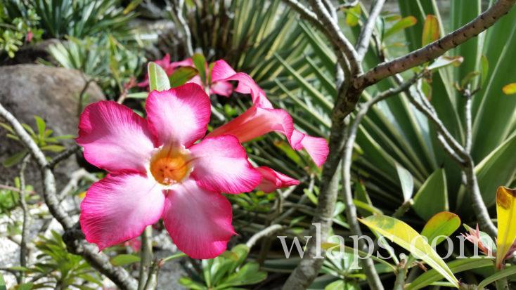 rose du désert, au Jardin Botanique de Deshaies en janvier