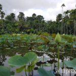 jardin-de-pamplemousse-ile-maurice
